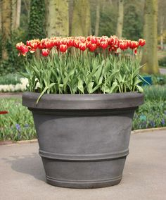 "Do this in the fall. Spring bulbs in Pots : store the potted bulbs in an unheated garage or storage room. You'll need to water every few weeks since the pots won't have access to rainfall. In addition to small pots, pack bulbs ""shoulder-to-shoulder"" in big containers for an abundant display in spring. Toss aside the spacing recommendations so you can get as many bulbs into the container that will fit. I love this!"