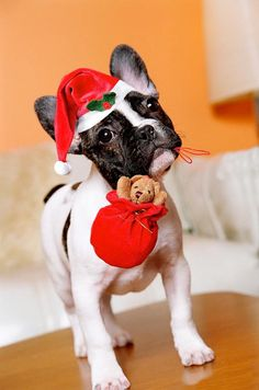 """Merry Christmas"", French Bulldog Puppy in Santa Hat"