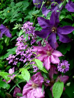 try two colors of clematis for added interest