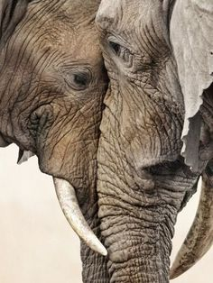Old elephant love