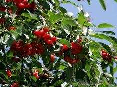 Итак, вы посадили деревце вишни на своем участке. Многие полагают, что на этом все и заканчивается, знай только – наведывайся в сад да собирай плоды. Однако на самом деле все далеко не так. Конечно, е...