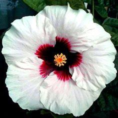 Hibiscus='High Voltage' em High Heat é branco