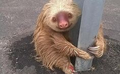 A tiny sloth that became stuck on the central reservation of a motorway and clung to the crash barrier for dear life, has tugged heartstrings around the world. It was spotted in the city of Quevedo, Ecuador, after becoming trapped by traffic passing on either side at high speed.