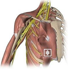 Tight fascia can come in like a boa constrictor and choke out nerve activity, blood supply, and fat. Nerves are the messengers that send signals from the to the muscles. When the signal is interrupted or choked out, the output is lessened. Fascia Blasting, Shoulder Anatomy, Neck Injury, Ashley Black, Rotator Cuff, Human Anatomy, Our Body, Cellulite, Biceps