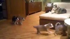 Perra jugando con sus cachorros - Pal Feis