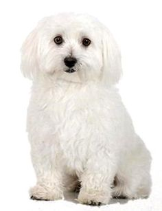 how to groom a maltese puppy cut do it yourself pet grooming diy dog grooming see more bichon frise dog sitting on one 16 fabric panel to sewtual picture is solutioingenieria Image collections