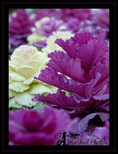 Ornamental Cabbage is really really pretty!
