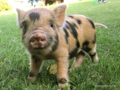 Tiger, a little micro pig boar who is soon to become a daddy for the first time