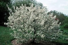There are lots of small flowering trees for the midwest garden, but four season interest crabapples are among the best. This post recommends four good ones.