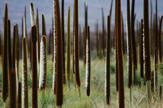 Flowering grass trees (Xanthorrhoea sp.) after fire by Andrew C Wallace, Tasmania