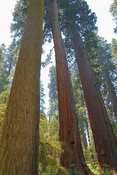 Calaveras Big Trees State Park giant sequoia trees along North Grove trail