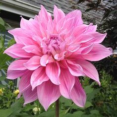 Dahlia 'Hart's Tickled Pink'