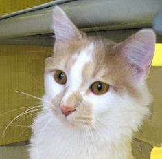 Adopt Klyde from Feline Rescue Inc, St.Paul,MN. adult male, fully vetted, playful, friendly, mellow, cozy boy!