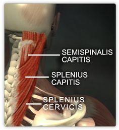 splenius capitis, splenius cervsi, semispinalis capitis muscles