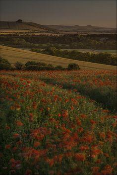 Poppies, Charlbury Hill near Bishopstone, England; photo by .Philip Selby