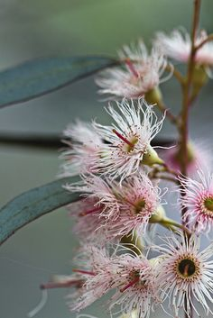 Eucalyptus blossom  Who knew they were this awesome? Koalas knew, I guess...