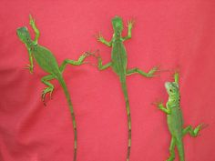 Iguanas on my son's shirt.
