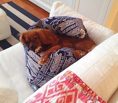 """CKCS on John Robshaw's Pinterest board, """"Unleashed."""" """"This week we have Cate Dwyer's gorgeous pup Charlie!"""""""