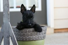 Google Image Result for http://www.scottishterriernews.com/wp-content/uploads/2009/03/Scottish-Terrier-puppy-with-large-ears.jpg