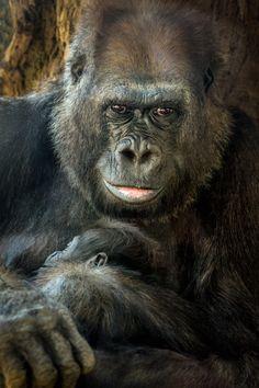 Julia with her newborn Silverback Gorilla alan shapiro photography Primates, Borneo, Beautiful Creatures, Animals Beautiful, Baby Animals, Cute Animals, Wild Animals, Types Of Monkeys, Animal Kingdom