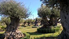 Specimen Ancient Olive Tree – Milenarios Centenarios Olivos Ejemplar – Ulivi Esemplari Secolari Milenari Centenari - Αρχαίες Αιωνόβιες Μεγάλες Ελιές Ελαιόδεντρα