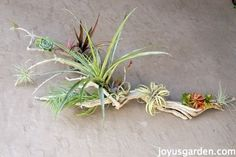 An Easy Piece Of Art With Driftwood, Tillandsias & Succulents. #tillandsias #succulents