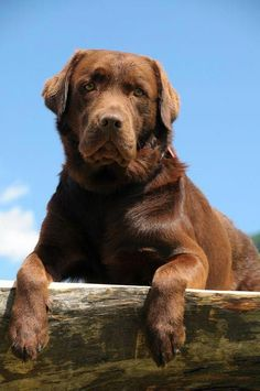 Mind Blowing Facts About Labrador Retrievers And Ideas. Amazing Facts About Labrador Retrievers And Ideas. Labrador Puppies For Sale, Lab Puppies, Cute Puppies, Cute Dogs, Adorable Babies, Funny Babies, Chocolate Labrador Retriever, Golden Retriever, Labrador Retriever Dog