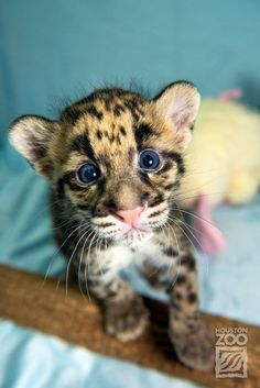 Clouded Leopard cubs show 'mad skills' at Houston Zoo! http://www.zooborns.com/zooborns/2014/08/clouded-leopard-cubs-show-mad-skills.html