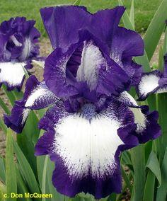 TB Iris germanica 'Mirror Image' (Hager, 1979)