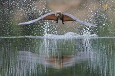 Levitation Flying Fox bat from Australia