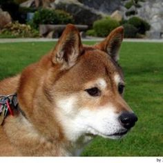"In this dog had called many things: Sanin Shiba, Mino Shiba, Shiba Shins huh, but that was used most often was Shiba Inu which means ""small dog"". Shiba Inu, Small Dog Breeds, Small Dogs, Mans Best Friend, Best Friends, Female Dog Names, Medium Dogs, Corgi, Puppies"