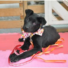 My name is Nicole and I am an adorable Taiwanese Mountain Dog and Labrador Retriever girl.I am only 14 lbs, super sweet and friendly and I am so excited to come to America to find my forever home soon.Gingers Pet Rescue has teamed up with Maggie...