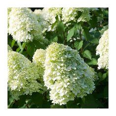 Bobo Hydrangea, Dwarf Hydrangea, Hydrangea Potted, Limelight Hydrangea, Hydrangea Paniculata, Red Plants, Large Plants, Planting Shrubs, Planting Flowers