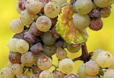 Болезни винограда (антракноз, хлороз, плесень, гниль)