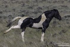 Andalusian Horse, Friesian Horse, Arabian Horses, Cute Horses, Beautiful Horses, Cheval Pie, Baby Sea Turtles, Wild Horses, Black Horses