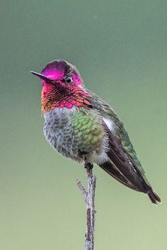 by Allan Hack** Bee Hummingbird, Hummingbird Pictures, Butterfly Pictures, Hummingbird Tattoo, Pretty Birds, Beautiful Birds, Colorful Birds, Exotic Birds, Wild Birds