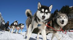 The Husky Lodge (in Muotathal, Switzerland). Ride of your life: Guests can join the huskies as they work for a ride around the mountain...