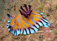nudibranch - Google Search