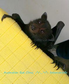 Australian Bat Clinic rehab babies 18/01/2015  www.batsbirdsyard.com