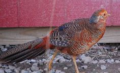 Red Golden Pheasant Male - Hey,we have Red Golden Pheasant Male for sale at www.frankstrade.com.