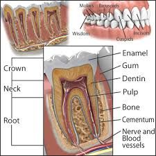 Image result for tooth anatomy