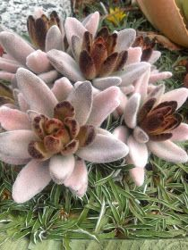 Kalanchoe tomentosa, I am trying to get this one. Types Of Succulents, Growing Succulents, Succulents In Containers, Cacti And Succulents, Planting Succulents, Planting Flowers, Unusual Plants, Exotic Plants, Cool Plants