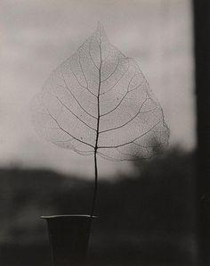 Olive Cotton - Skeleton leaf, 1964