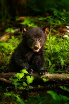 **Bear Cub's First Spring by Steve Perry