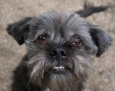 Meet Chuck, a Petfinder adoptable Brussels Griffon Dog | Noblesville, IN | Siblings: The only people who will pick on you for their own entertainment and beat up anyone else...In Indiana.