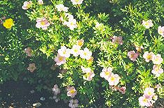 "Pink Beauty Potentilla or Potentilla fruticosa ""Pink Beauty""  will grow to be about 30 inches tall at maturity, with a spread of 3 feet. It tends to fill out right to the ground and therefore doesn't necessarily require facer plants in front. It grows at a slow rate, and in ideal conditions can be expected to live for approximately 30 years. This shrub does best in full sun to partial shade. It is very adaptable to both dry and moist locations. Any soil type or pH. Best pruned in early…"