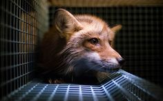 The fur industry continues to grow with demand specifically spiking in China. There are growing concerns about how the heightened popularity will increase the production of fur in the US. More than 50 million animals are violently killed for use in fashion every year.