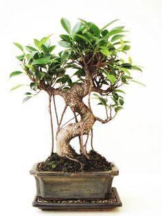 Zimmerbonsai Tropische Feige, Ficus ca. 9-10 Jahre alt, ca. 35 cm hoch (Abbildung ähnlich) MIT UNTERSETZER + Bonsaischere