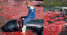 THIS IS NOT OK. IT MUST BE STOPPED. PLEASE HELP. THESE ARE SOME OF THE CRUELEST SUB HUMANS ON EARTH.  SIGN AND SHARE WIDELY. THESE ARE INTELLIGENT SEA CREATURES WHO DO  NOT DESERVE TO HAVE THEIR HEADS CUT ALMOST OFF WITH A CHAIN SAW.  THESE SUB HUMANS ARE DISGUSTING.