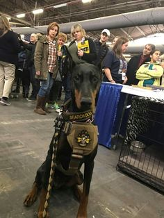 Working Doberman